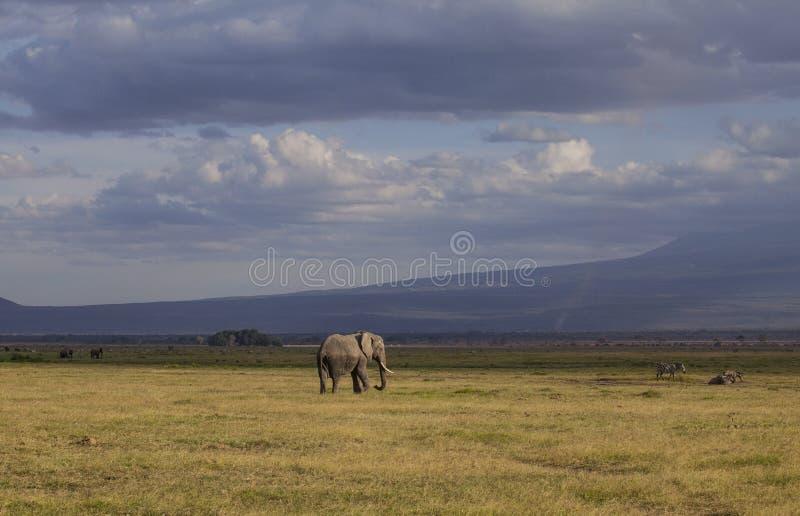 Elefant Amboseli-Park, Kenia stockfotos