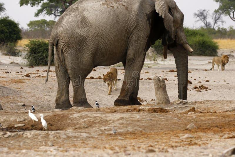 Elefant auf dem Ausblick für Löwen lizenzfreies stockfoto