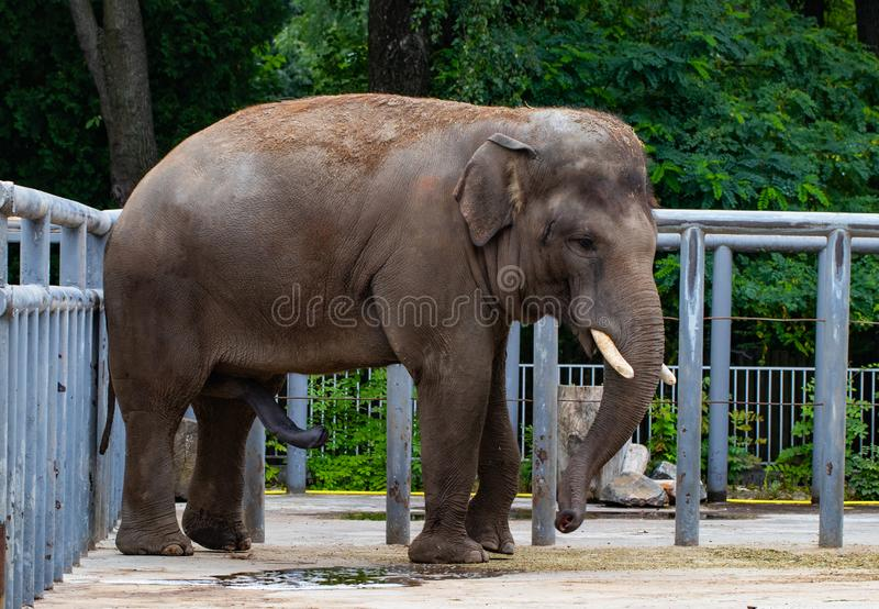 Elefant, auf dem Hintergrund von grünen Bäumen im Zoo stockfotografie