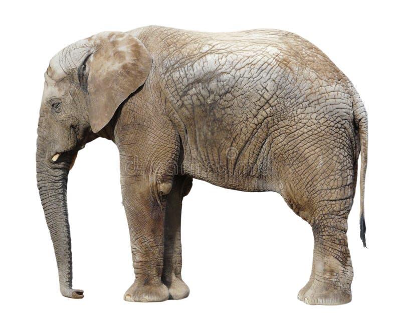 Elefant auf Weiß stockbild