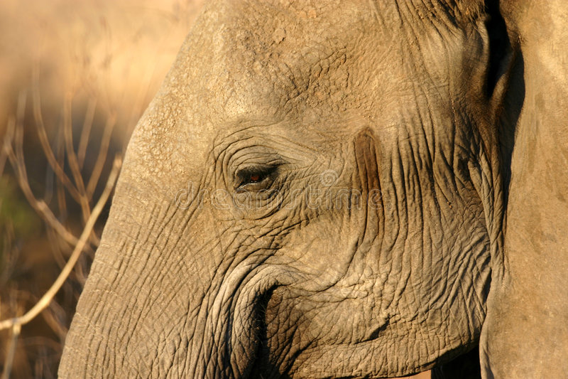Elefant-Auge