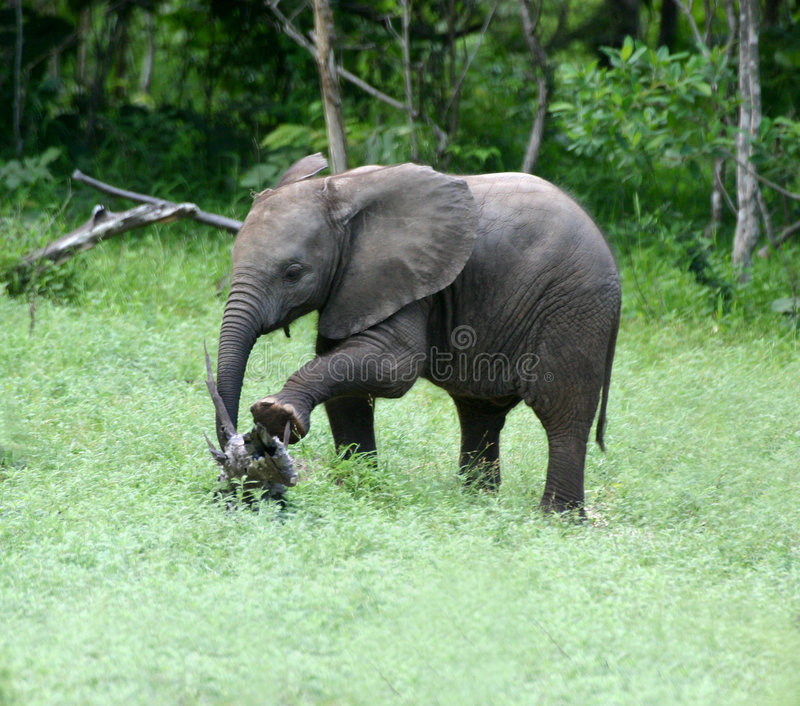 Elefant-Ausdehnen stockfotos