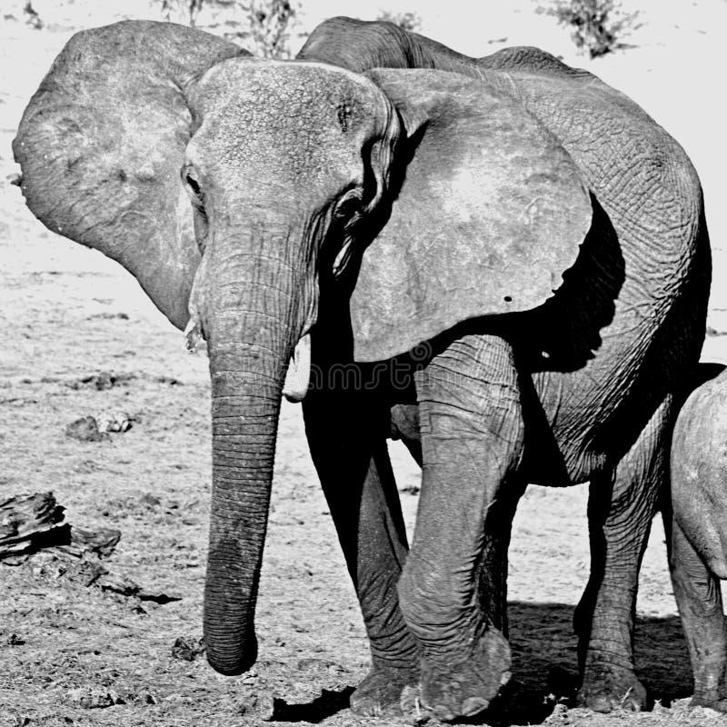 Elefant av Botswana arkivbilder