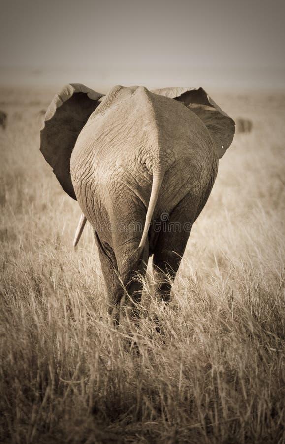 Elefant bakre sikt royaltyfria bilder
