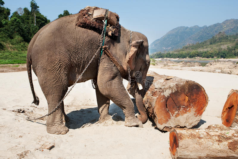 Elefant bei der Arbeit lizenzfreies stockbild