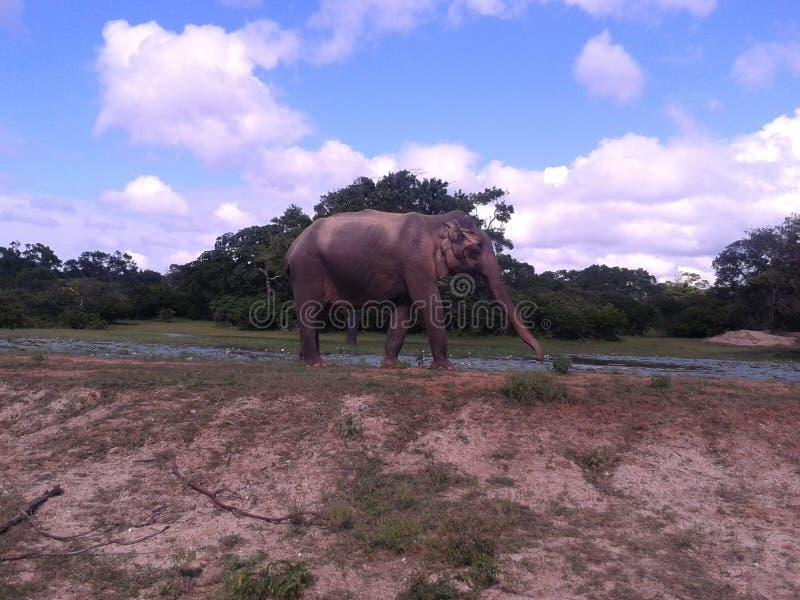 Elefant. Big elefant on island sri lanka royalty free stock images