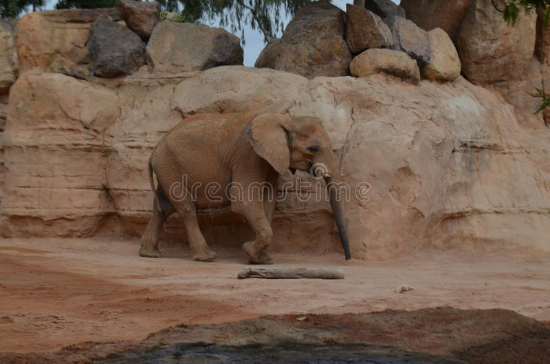Elefant. In the Bio Park, Valencia royalty free stock photo