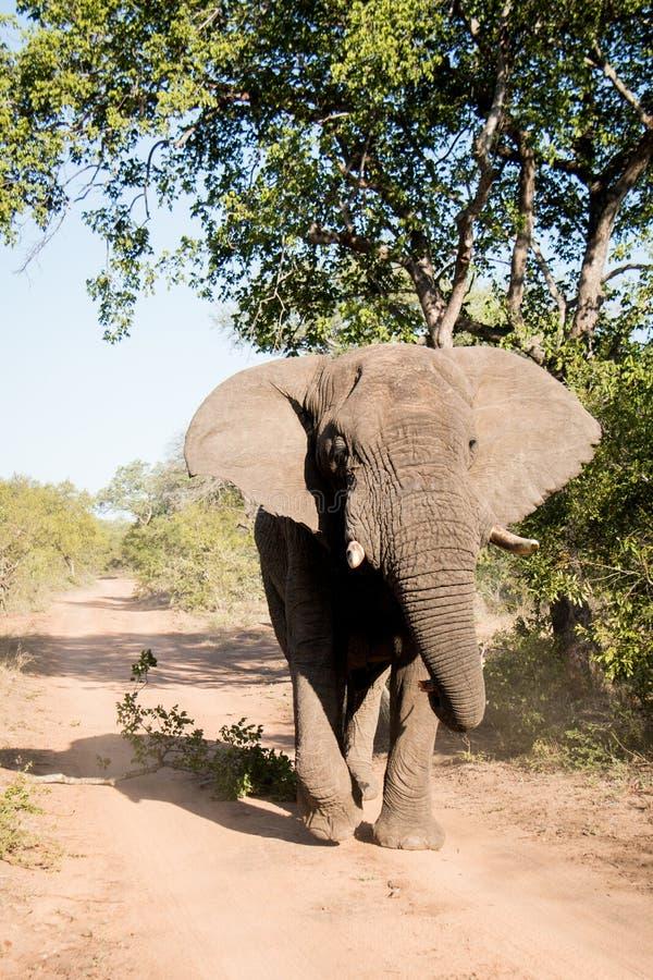Elefant Bull muss innen stockbild