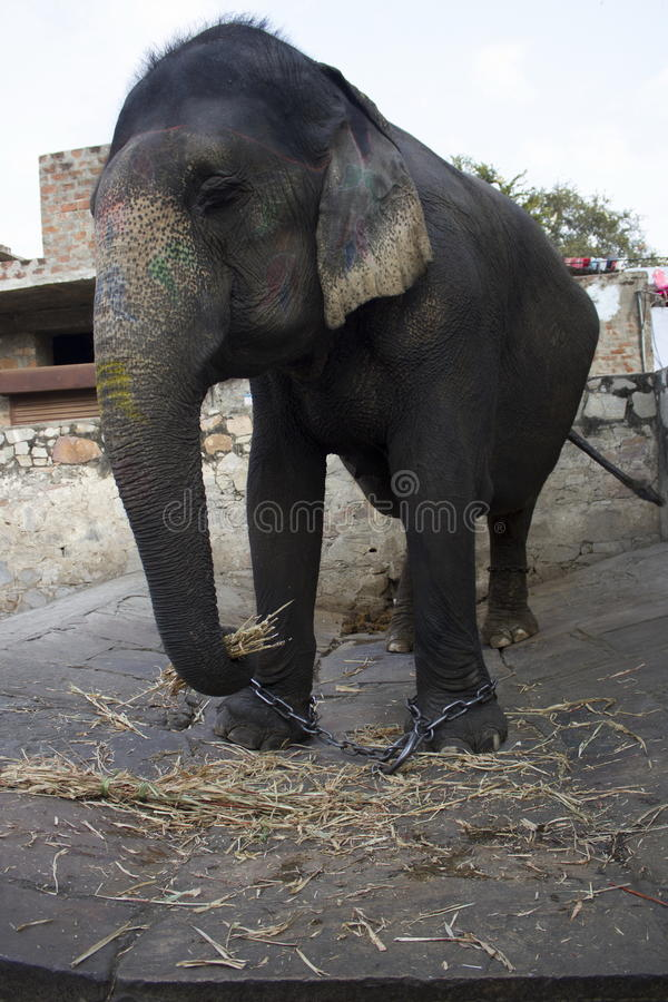 Elefant. In the city of Jaipur, India stock images