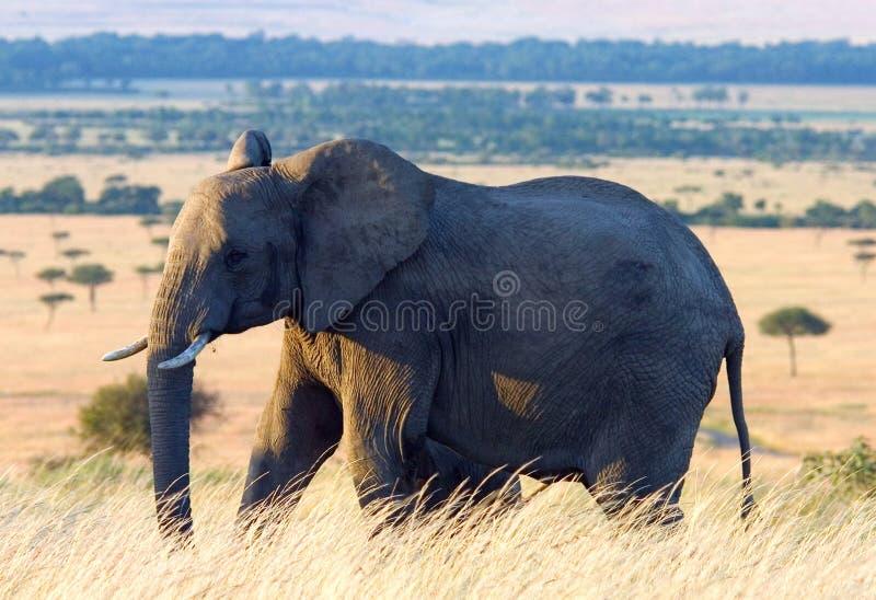 Elefant In Den Afrikanischen Ebenen Lizenzfreie Stockfotografie