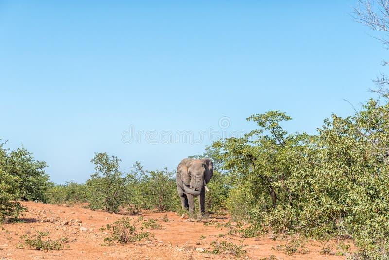Elefant, der aggressives Verhalten mit seinem Stamm zeigt lizenzfreie stockfotos