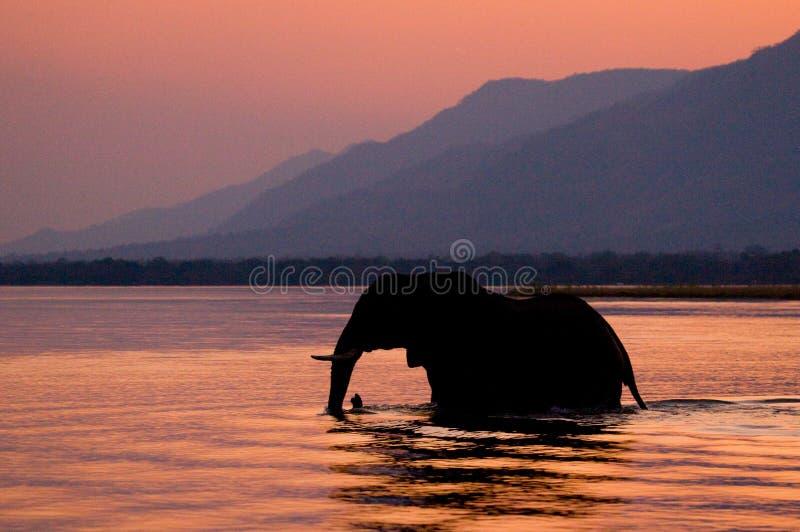 Elefant, der den Sambesi bei Sonnenuntergang im Rosa kreuzt sambia lizenzfreie stockbilder