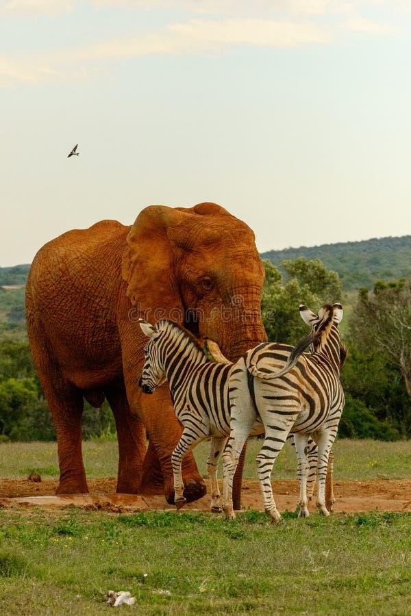 Elefant, der die Zebras jagt stockfotografie