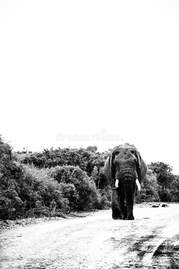 Elefant, der hinunter die Straße geht lizenzfreies stockbild