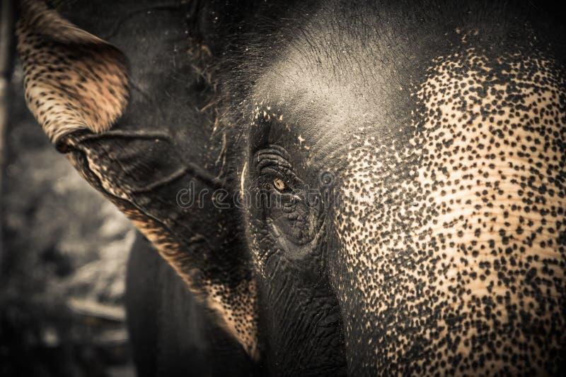 Elefant, der Kamera mit Mitleid betrachtet lizenzfreies stockbild