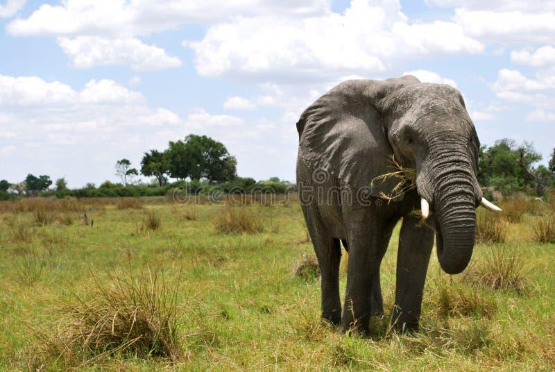 Elefant-Porträt lizenzfreies stockbild