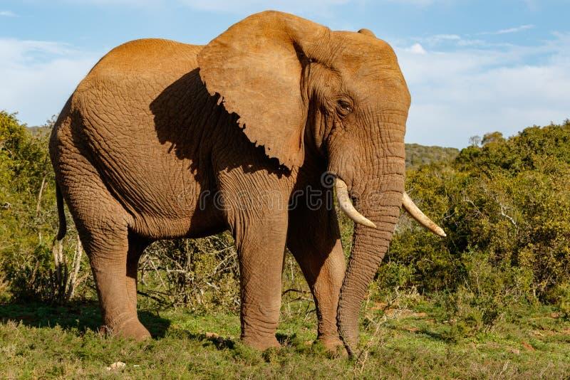 Elefant, der stolz mit seinem Stamm zeigt zu Boden steht lizenzfreie stockfotografie