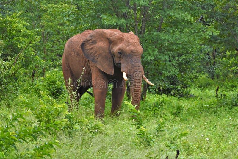 Elefant, der von den bruhs auftaucht lizenzfreie stockfotografie