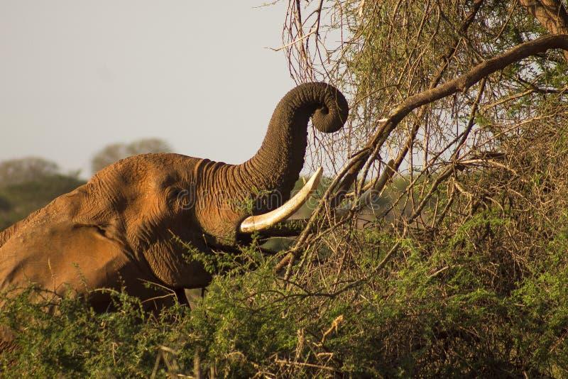 Elefant in der Wildnis, die auf Blätter auf den Bäumen einzieht stockbild