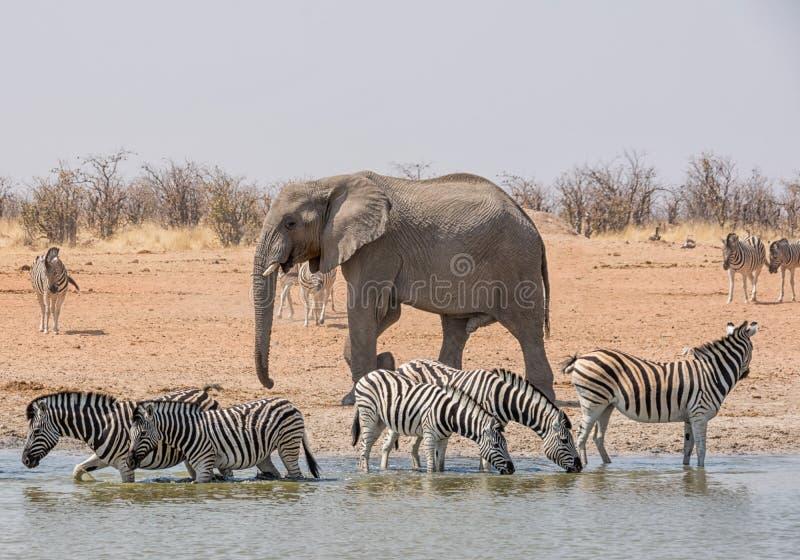 Elefant, der Zebra jagt stockbild