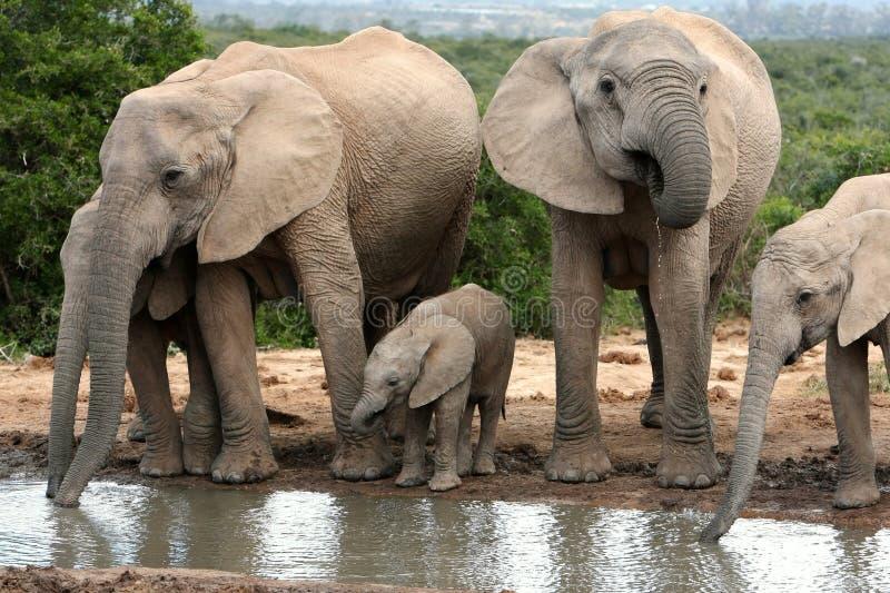 Elefant-Familien-Trinken lizenzfreie stockfotos