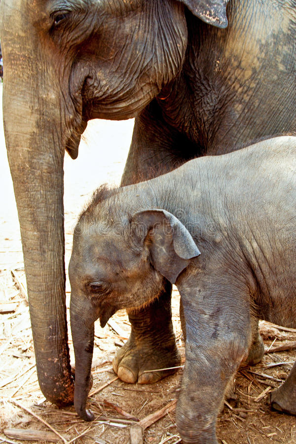 Elefant family in open area royalty free stock photography