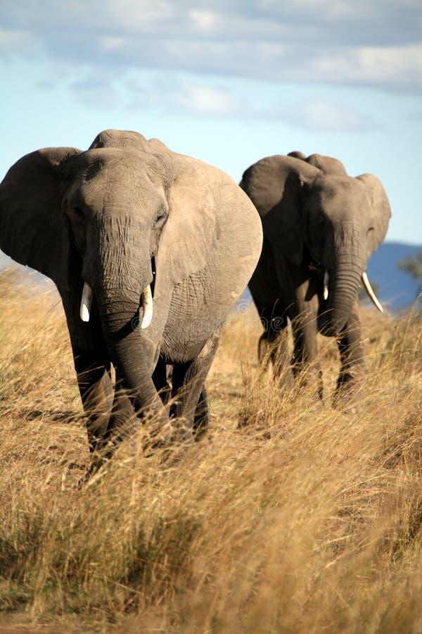 Elefant geht durch das Gras lizenzfreies stockfoto