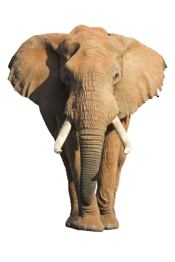 Elefant getrennt stockfotos