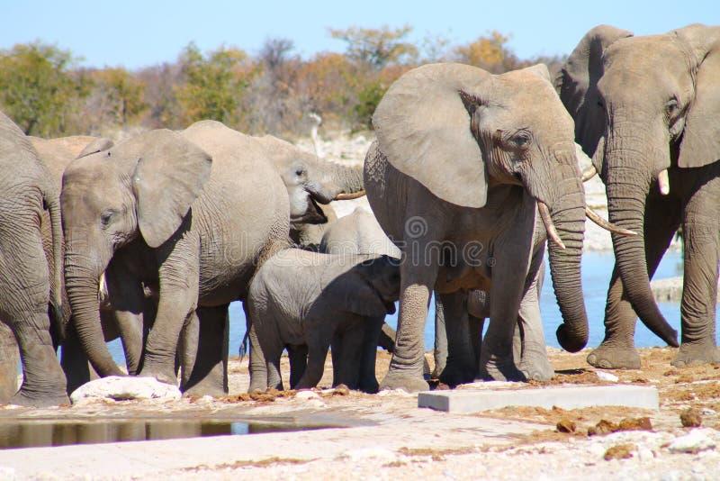 Elefant-Herde stockbilder