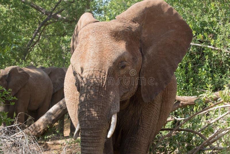 Elefant in honom buske royaltyfria foton