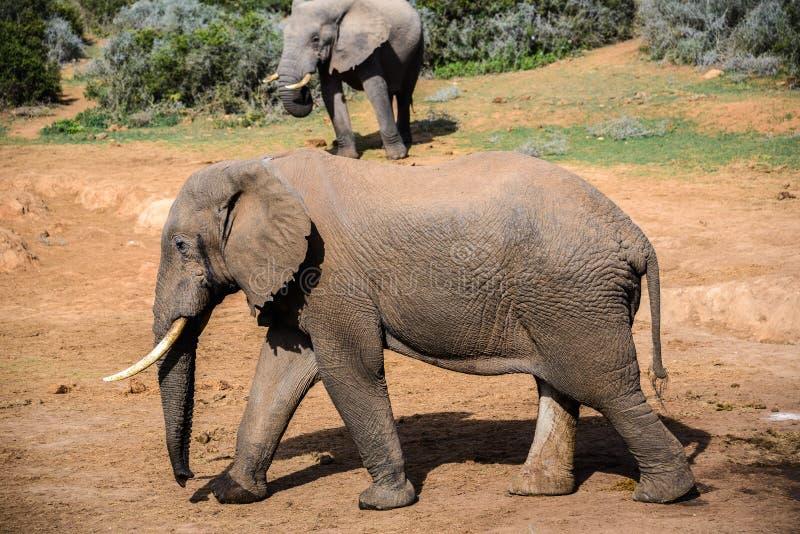 Elefant i Addo Elephant National Park, Sydafrika royaltyfria bilder