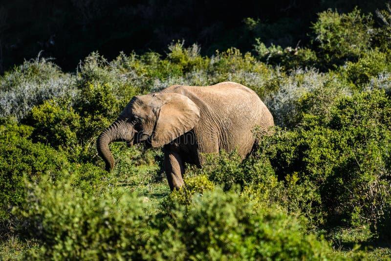 Elefant i Addo Elephant National Park, Sydafrika arkivfoto