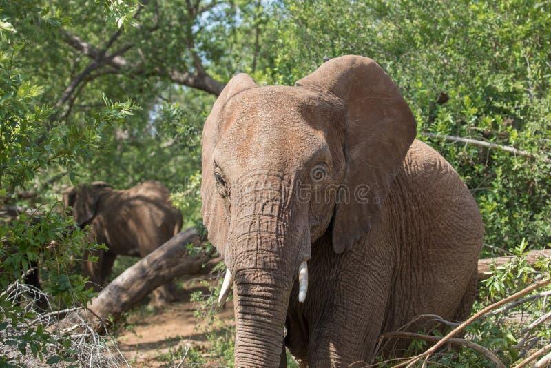 Elefant i busken royaltyfria foton