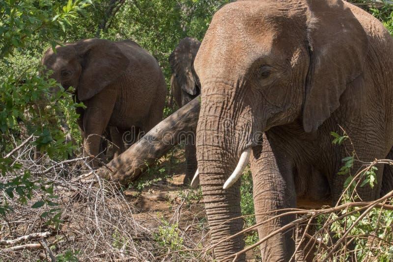 Elefant i busken arkivbild