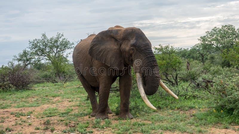 Elefant i den afrikanska busken royaltyfri fotografi