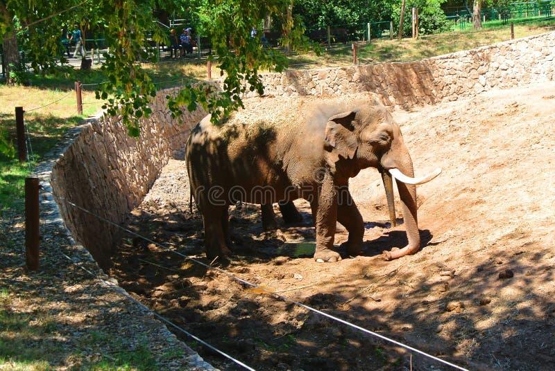 Elefant i den israeliska zoo på en solig dag royaltyfri fotografi