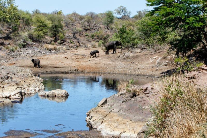 Elefant i den Kruger nationalparken royaltyfri fotografi