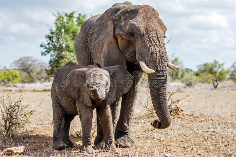 Elefant i den Kruger nationalparken royaltyfria foton