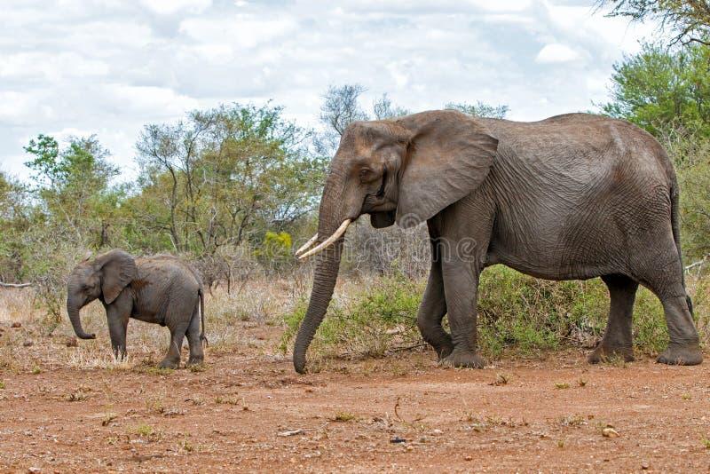 Elefant i den Kruger nationalparken royaltyfri bild