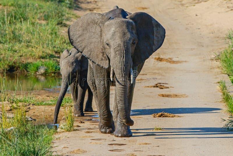 Elefant i den Kruger nationalparken arkivbild
