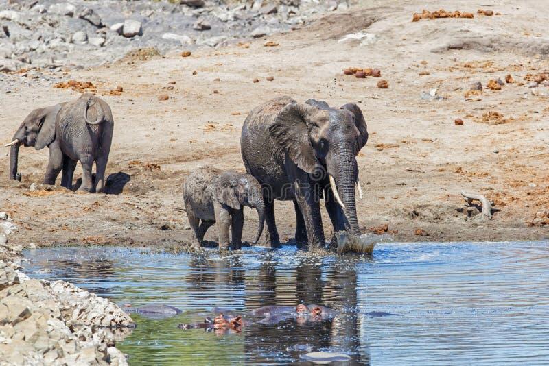 Elefant i den Kruger nationalparken arkivfoton