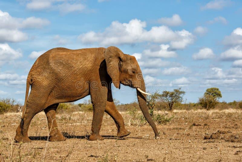 Elefant i den Kruger nationalparken arkivbilder