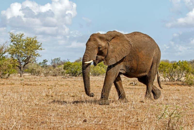 Elefant i den Kruger nationalparken arkivfoto