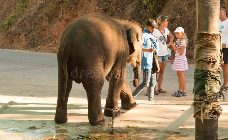 Elefant i fångenskap i kedjor i Thailand arkivfoton