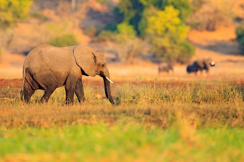Elefant i gräset Djurlivplats från naturen Sjö med stora djur Bevattna gräs i den stora floden, den Chobe nationalparken, Botswan royaltyfri bild