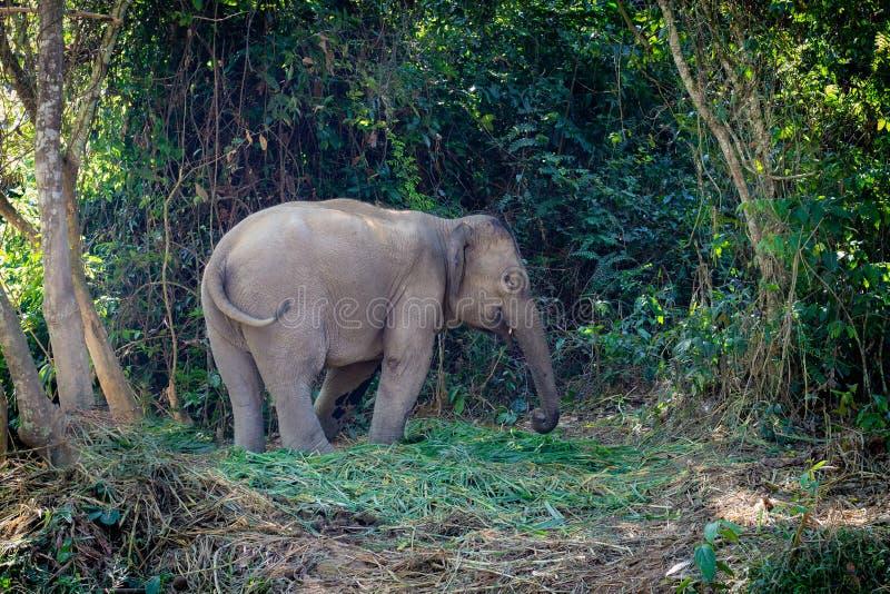 Elefant i jungen av Laos Förutom Luang Prabang Spara elefanterna Elefanten står lugna i skogen arkivfoto