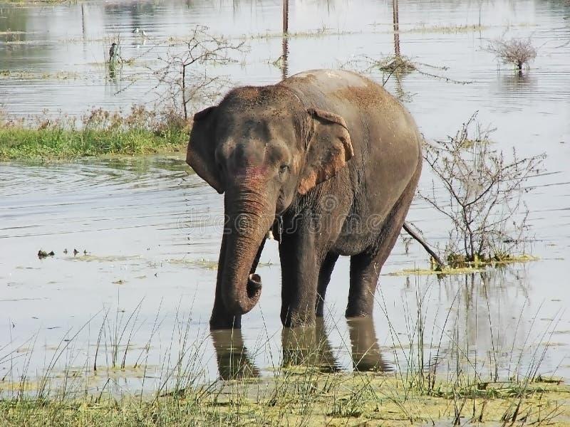 Elefant i sjön royaltyfri foto