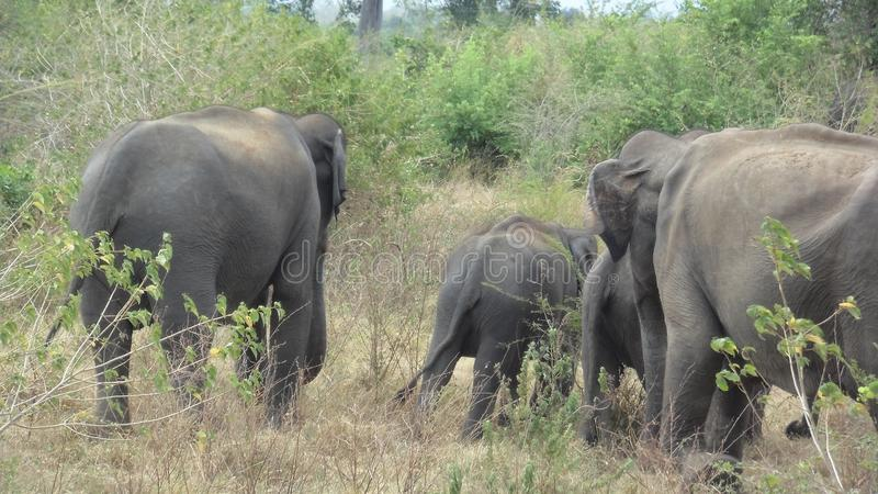 Elefant i Sri Lanka arkivfoto