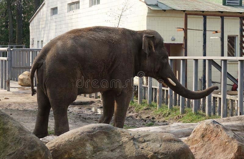 Elefant i zoo i en frilufts- bur royaltyfria bilder