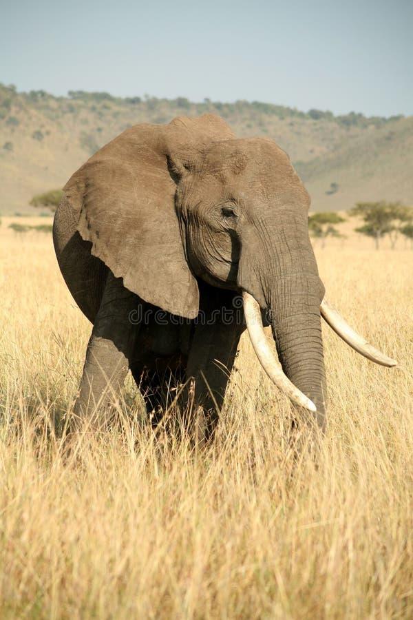 Elefant im Gras mit Kopf drehte sich lizenzfreies stockfoto